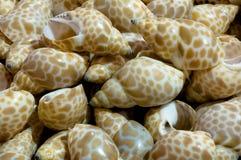 Paskuje shellfish Zdjęcie Royalty Free