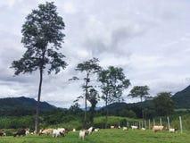 Pasma koźli uprawiać ziemię wśród wzgórzy, Kanchanaburi, Tajlandia zdjęcie stock