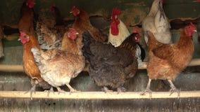 Pasmo kurczaki i?? stajnia zbiory wideo