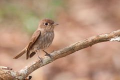 Pasmowy Flycatcher Obrazy Royalty Free