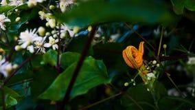 Pasożytnicza żółta roślina na krzak gałąź zdjęcia royalty free