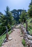 Paso de los árboles de Arz en bosque del arz en Líbano del norte fotografía de archivo
