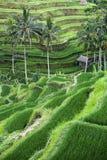 Paso de progresión colgante de los arroz-campos Fotos de archivo libres de regalías