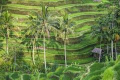 Paso de progresión colgante de los arroz-campos Imágenes de archivo libres de regalías