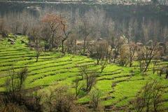 Paso de progresión verde que cultiva en la región himalayan rural Foto de archivo libre de regalías