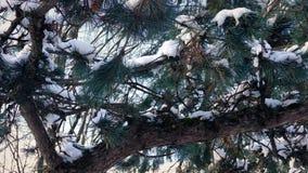 Paso de ramas nevadas del pino metrajes