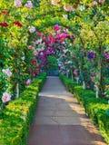 Paso de Rose Imagen de archivo libre de regalías
