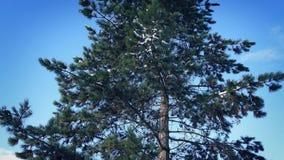 Paso del árbol de pino con nieve en ramas metrajes
