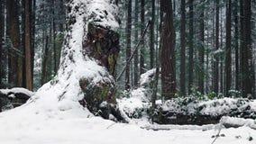 Paso del árbol viejo enorme en nevadas metrajes