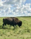 Paso del búfalo salvaje en parque nacional de la isla de los alces, Alberta, Canadá foto de archivo
