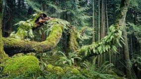 Paso del bosque de Fern Covered Trees In The almacen de video