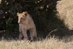 Paso del cachorro de león hacia fuera de arbustos Imagen de archivo libre de regalías