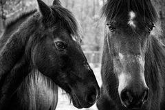 Paso Fino Horses in Black and White Royalty Free Stock Photo