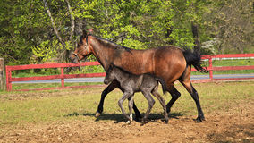 Mare and Her Colt. A Paso Fino mare horse at a farm with her newborn colt Royalty Free Stock Photo