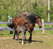 Mare and Her Colt. A Paso Fino mare horse at a farm with her newborn colt Royalty Free Stock Image