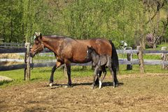Paso Fino Mare Horse and Her Cute Colt royalty free stock images