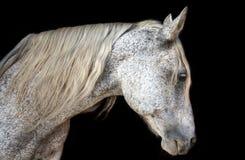 Paso-fino Pferd auf Schwarzem lizenzfreie stockbilder