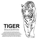 Paso grande que camina del tigre vencedor ilustración del vector