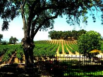 Paso Robles California  Grapes on Sunny Day in CA Royalty Free Stock Photos