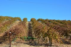 Paso Robles Fall Vineyard with Oak Tree and amazing autumn colors. Multiple grape varietals change colors at different times during the fall season creating a Royalty Free Stock Images