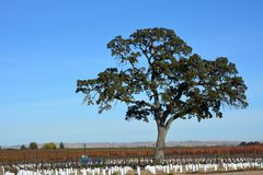 Paso Robles Fall Vineyard with Oak Tree and amazing autumn colors. Multiple grape varietals change colors at different times during the fall season creating a Royalty Free Stock Photography