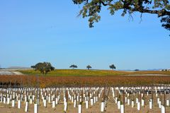 Paso Robles Fall Vineyard with Oak Tree and amazing autumn colors. Multiple grape varietals change colors at different times during the fall season creating a Royalty Free Stock Image