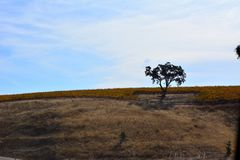 Paso Robles Fall Vineyard with Oak Tree and amazing autumn colors. Multiple grape varietals change colors at different times during the fall season creating a Stock Photos