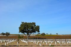 Paso Robles Fall Vineyard with Oak Tree and amazing autumn colors. Multiple grape varietals change colors at different times during the fall season creating a Stock Image