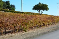 Paso Robles Fall Vineyard with Oak Tree and amazing autumn colors. Multiple grape varietals change colors at different times during the fall season creating a Royalty Free Stock Photos