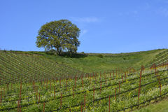 Paso Robles Spring Vineyard Royalty Free Stock Photography