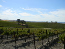 Paso Robles Vineyard Stock Image
