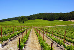 Paso Robles Winery. Grapeviens and hillside, Paso Robles winery Royalty Free Stock Photography