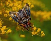 Pasożytniczy Tachina komarnicy Phasia hemiptera w makro- Zdjęcie Royalty Free