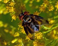 Pasożytniczy Tachina komarnicy Phasia hemiptera w makro- Obraz Royalty Free