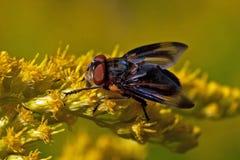 Pasożytniczy Tachina komarnicy Phasia hemiptera w makro- Zdjęcia Stock