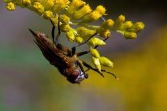 Pasożytniczy Tachina komarnicy Phasia hemiptera w makro- Fotografia Royalty Free