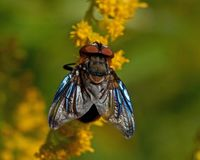 Pasożytniczy Tachina komarnicy Phasia hemiptera w makro- Zdjęcia Royalty Free