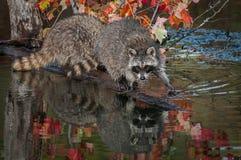 Pasos del lotor del Procyon del mapache adelante en registro Fotografía de archivo libre de regalías