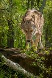Pasos del lupus de Grey Wolf Canis de la roca Fotos de archivo libres de regalías