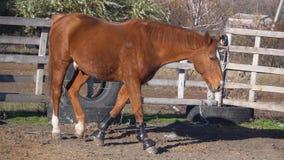 Pasos grandes del caballo en la pluma Cámara lenta almacen de video