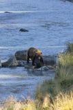 Pasos grandes del oso grizzly de Alaska en sol a lo largo del río Imagenes de archivo