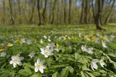 Pasqua bianca fiorisce nel legno Immagine Stock