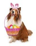 Pasqua Bunny Shetland Sheepdog fotografia stock