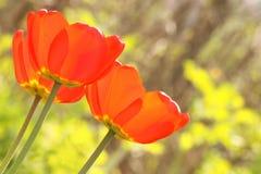 Pasqua o foto di scorta di schede del tulipano di giorno di madri Fotografie Stock