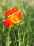 Pasqua o foto di scorta di schede del tulipano di giorno di madri Fotografie Stock Libere da Diritti
