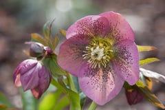 Pasqua Rosa Fotografia Stock Libera da Diritti