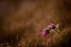 Pasque在晚上雨中 免版税图库摄影