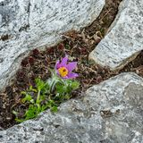 Pasque花和石头在庭院里 免版税库存照片
