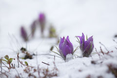 Pasque-цветок зацвел в снеге Стоковые Изображения