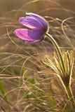 Pasque-цветок на луге Стоковые Изображения